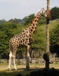 468px-Rothschilds_giraffe_at_paignton_arp[1]