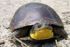 (The adorable Blanding's Turtle)