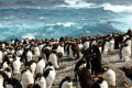 Rockhopper Penguins on Marion Island, Part of South Africa's Prince Edward Island chain.