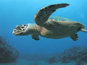 Majestic sea turtle